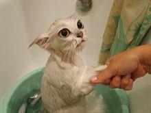 Можно ли мыть кота?