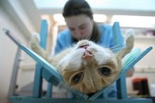 Плюсы и минусы стерилизации котов и кошек