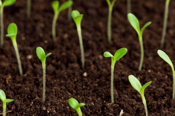 Как всходят семена