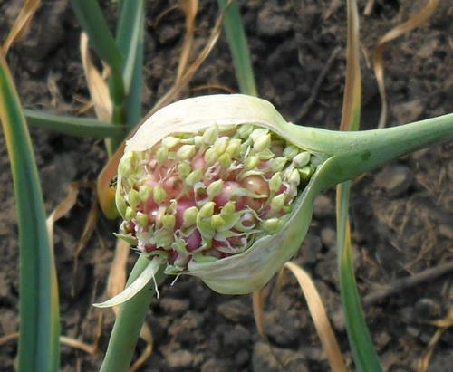 Выращивание лука из бульбочек 59