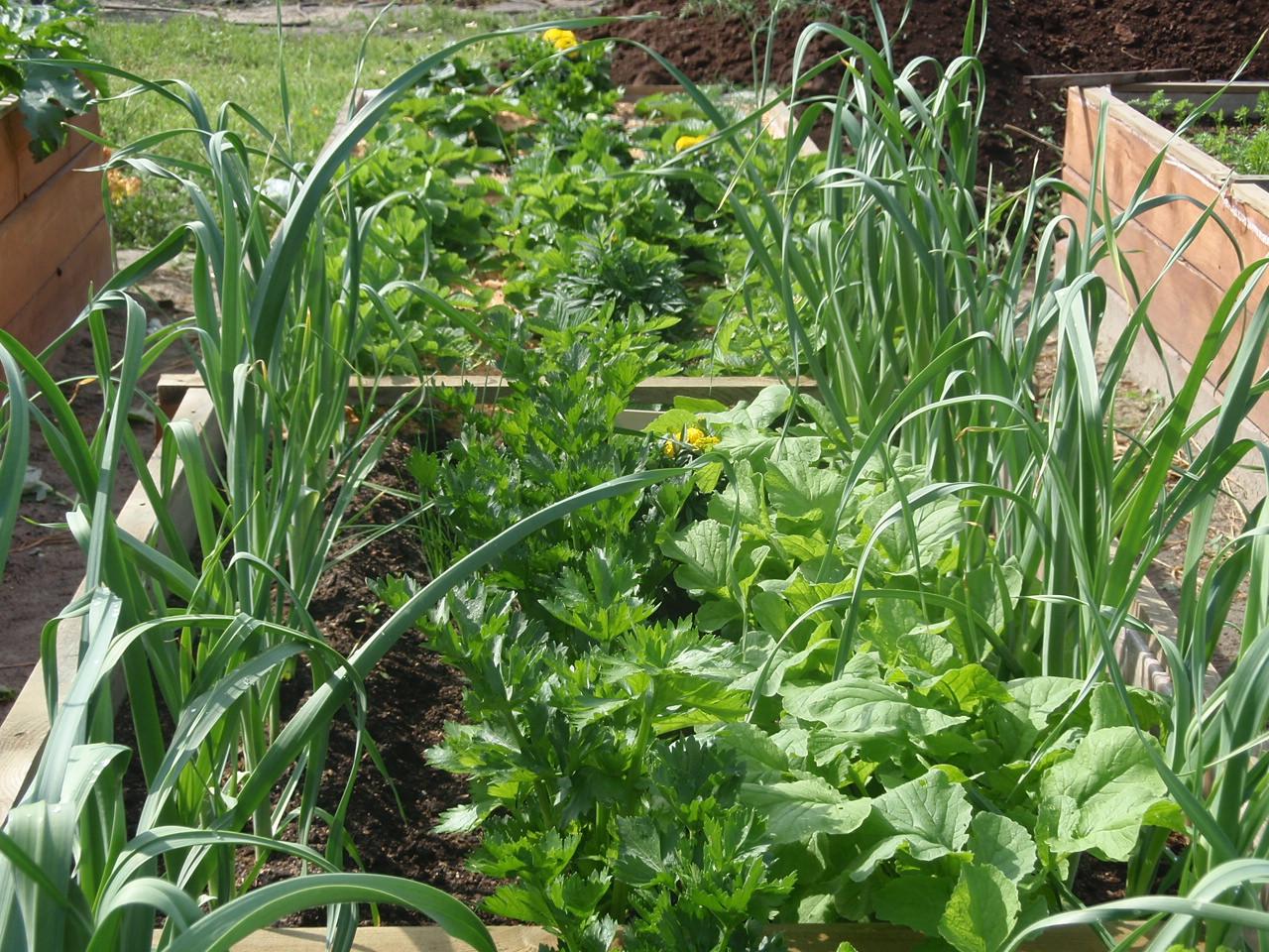 Посадка лука и моркови на одной грядке: схема, как сажать 81