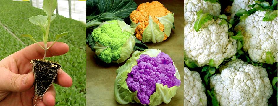 Ошибки при выращивании цветной капусты 99