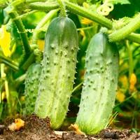 Овощная рассада