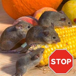 От крыс и мышей