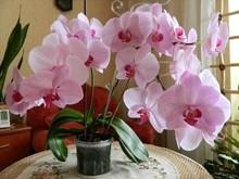 Как вырастить огромную орхидею?