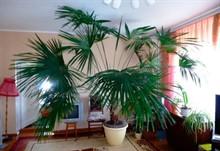 Самые популярные комнатные пальмы