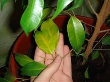 Почему комнатные растения вытягиваются?