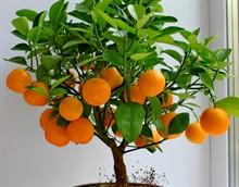 Почему мандариновое дерево сбрасывает листья?