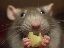 Как обезопасить себя от мышиной лихорадки?