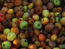 Опавшие яблоки как удобрение