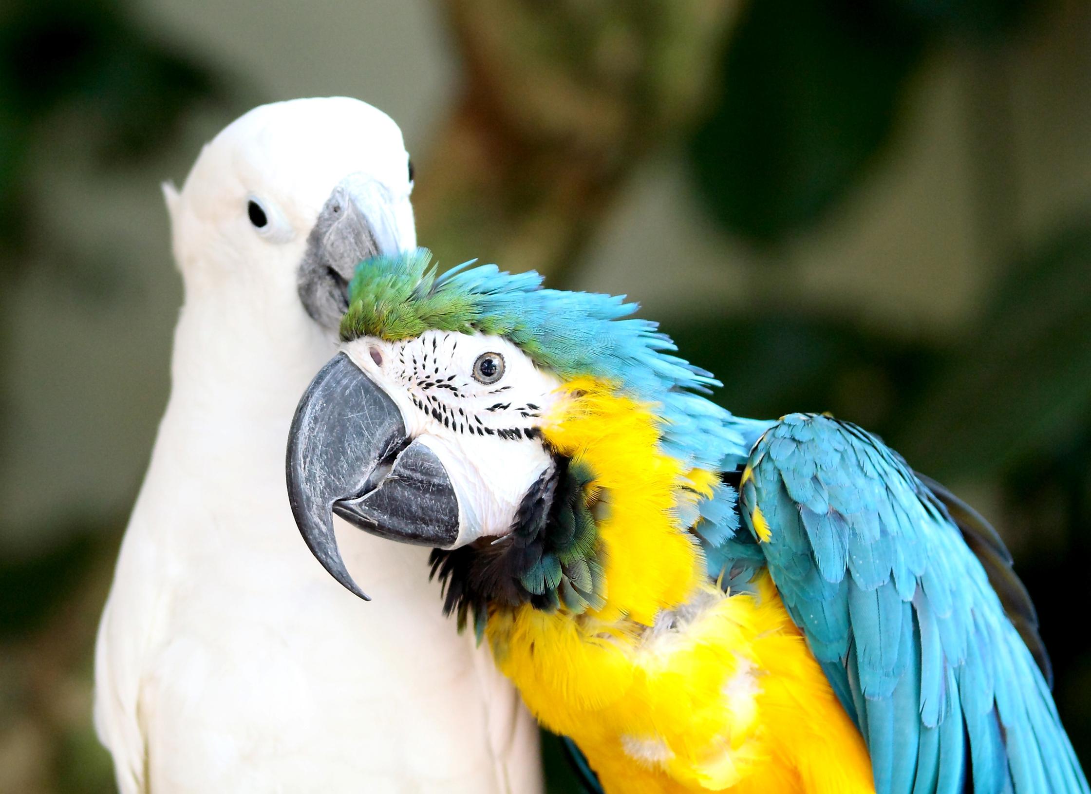 Особенности содержания больших попугаев