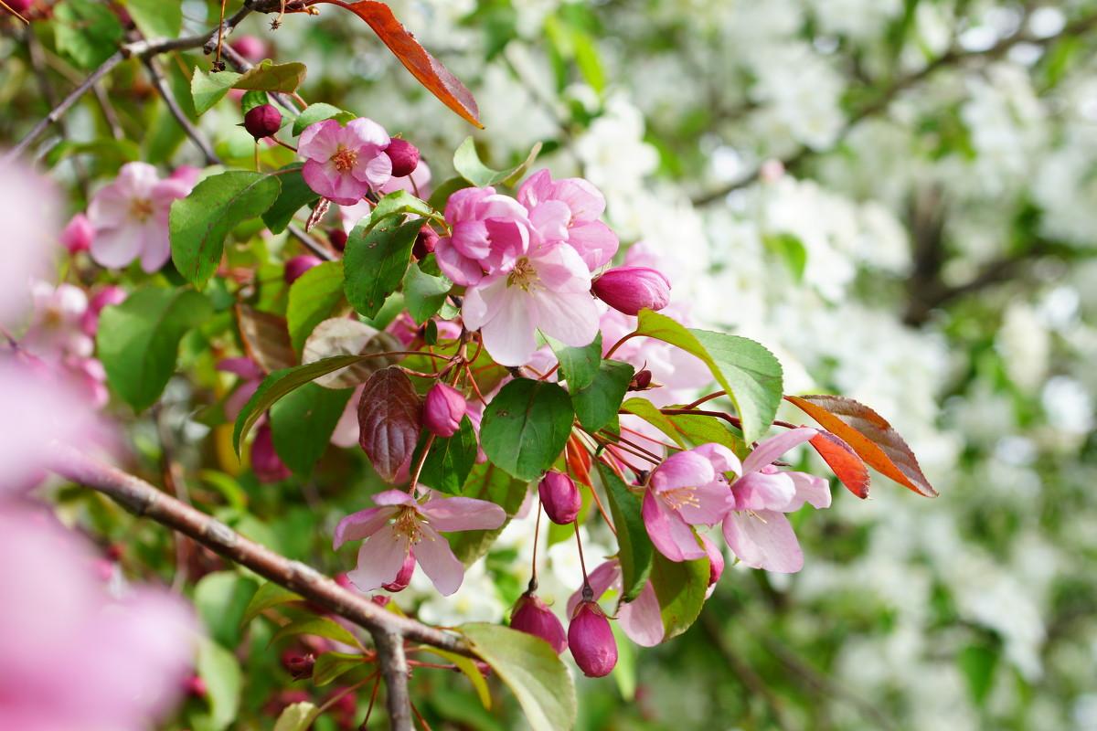 Какую яблоню посадить в саду?