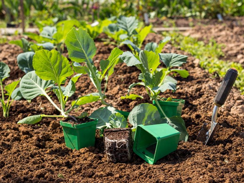 Как выбрать рассаду капусты?