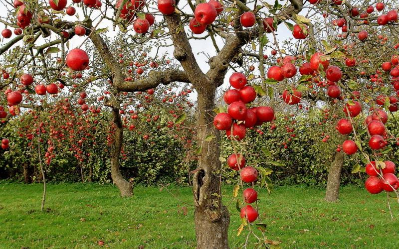 Почему яблоня не цветет и не плодоносит?