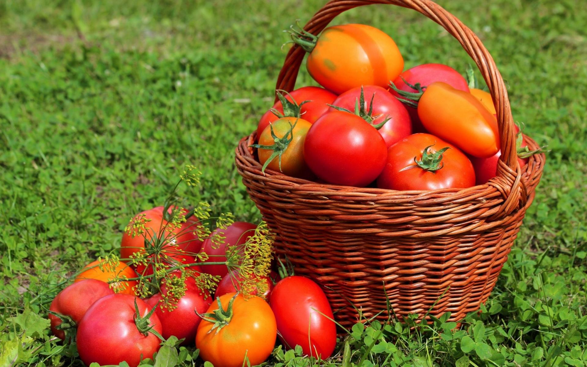 Определяем болезни томатов на ранней стадии
