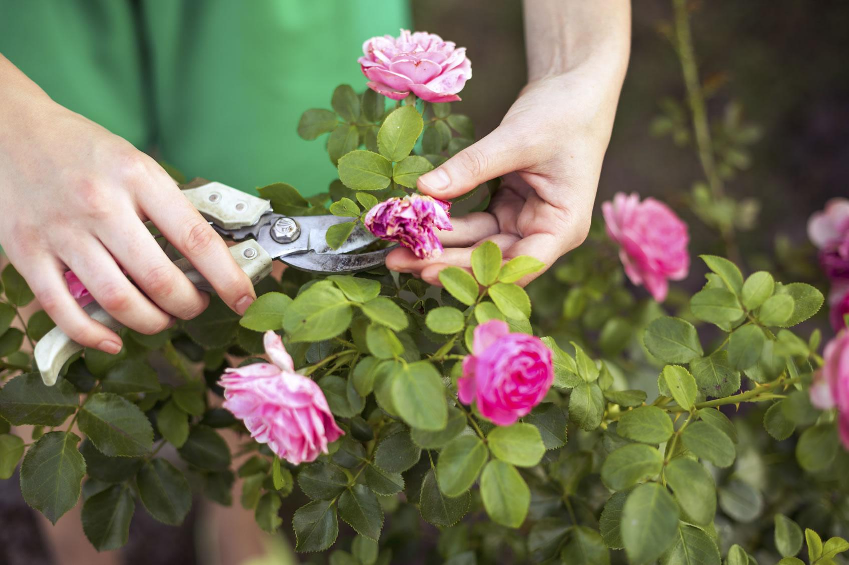 Почему не цветут розы?
