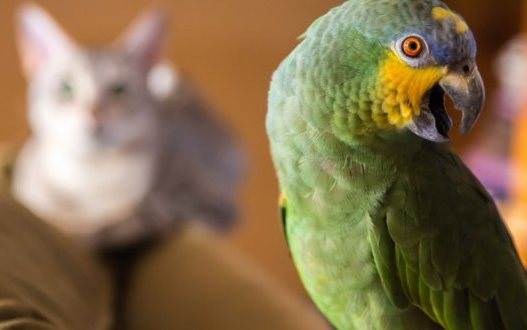 Уживутся ли попугай и кот в одной квартире?