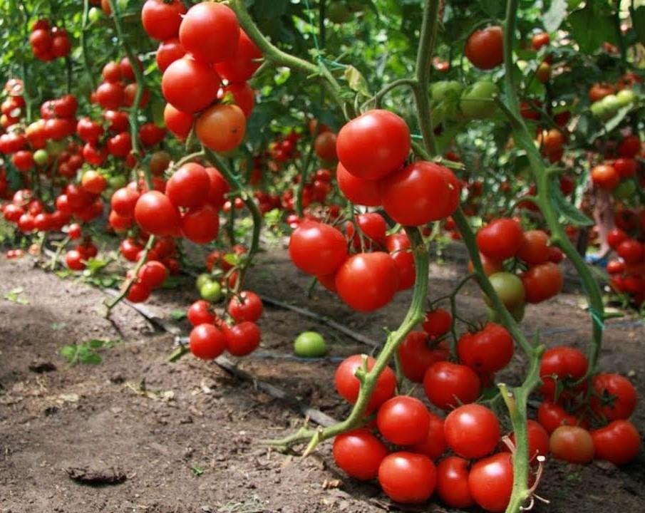 Как продлить плодоношение томатов?