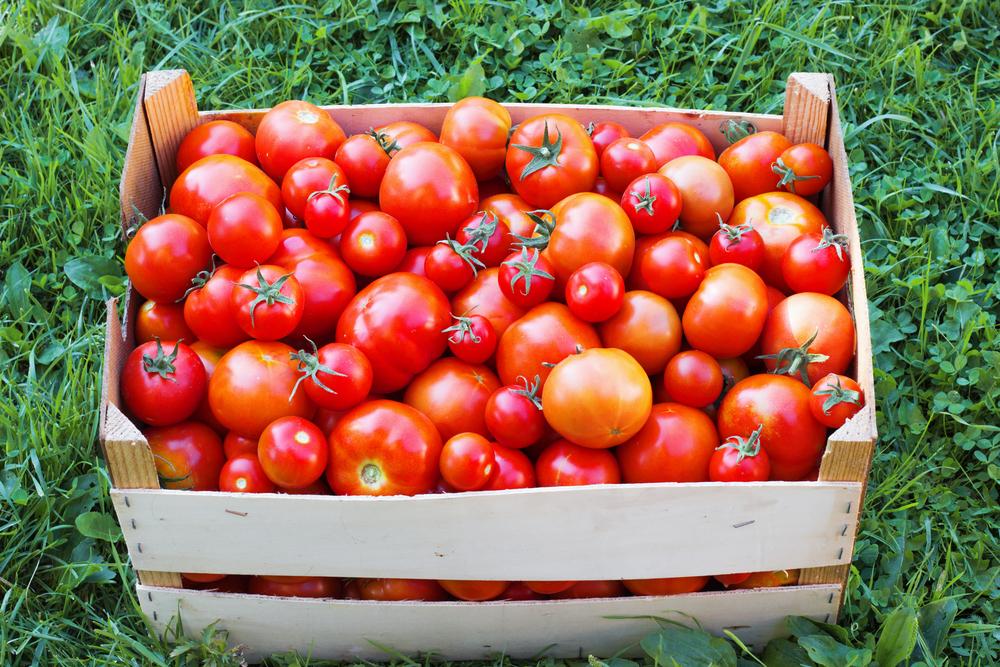 Большой урожай томатов: что с ним делать после сбора?