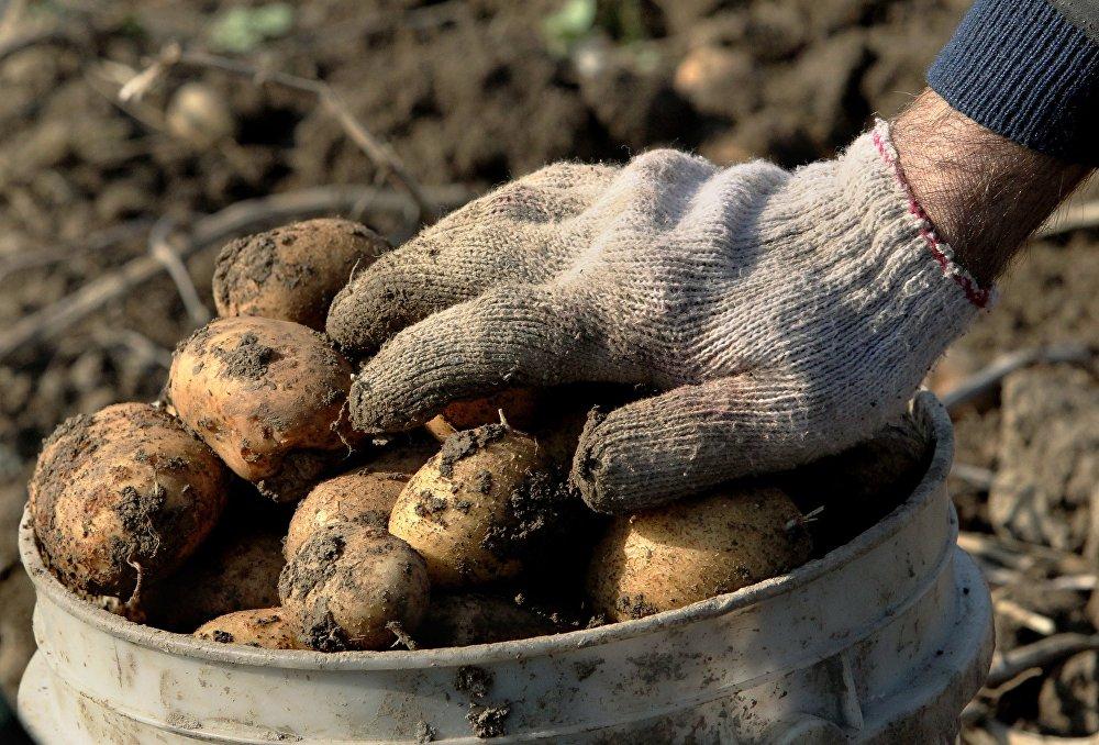 Выкапываем картофель эффективно