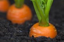 Посев озимой моркови
