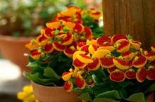 Нужно ли избавляться от кальцеолярии после цветения?