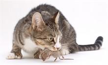 Какие кошки ловят мышей лучше?