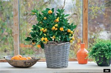 Зимний уход за цитрусовыми растениями