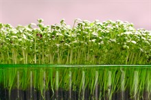 Микрозелень-модно и полезно.Выращиваем на подоконнике