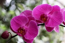 Самая популярная орхидея
