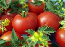 Самые популярные сорта томатов на 2019 год