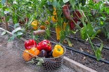 Чем подкормить рассаду баклажан и перцев?