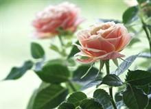 Как выбрать хорошие саженцы роз?