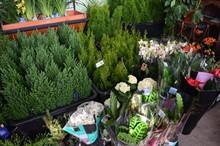 Новый привоз цветов и хвойных растений в горшках