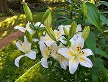 Лилии. Популярные сорта и гибриды