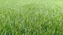 Что выгоднее: посеять газон или уложить рулонный?