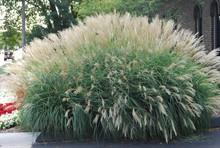 Какие декоративные злаки можно посадить в саду?