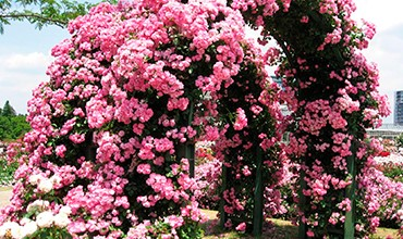 Выращиваем плетистую розу на штамбе в домашних условиях