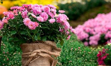 Секреты выращивания и пышного цветения хризантем