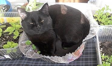 Как спасти рассаду от кота-проказника?