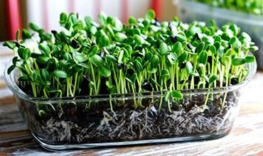 Выращивание микрозелени в проращивателе
