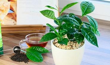Можно ли вырастить чайный куст дома?