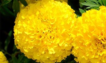 Поступила рассада однолетних цветов