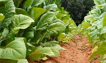 Выращивание и ферментация табака