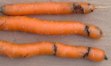 Вредители моркови на участке
