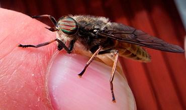 Опасные насекомые. Что делать, если укусил слепень?