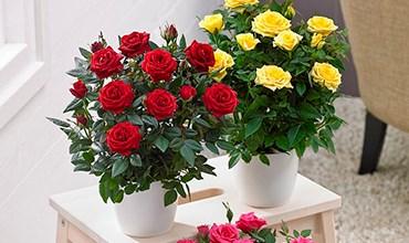 Какие сорта роз можно сажать в горшок?