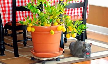 Особенности комнатного выращивания Мандарина, Лимона, Каламондина и Кумквата