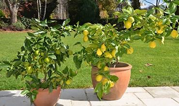 Чем отличаются лимон, мандарин, каламондин и кумкват?
