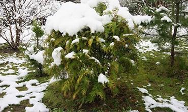 Зимнее черенкование лиственных и хвойных деревьев